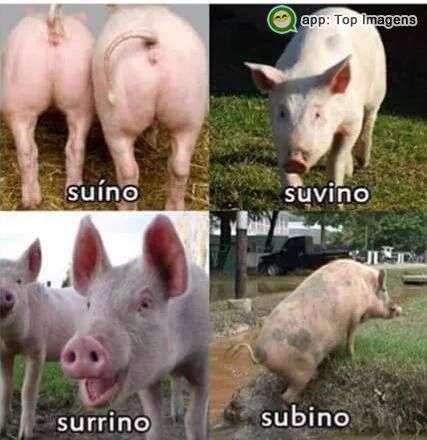 Zoeira com suínos